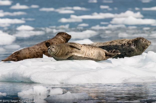 Harbor Seal.0202