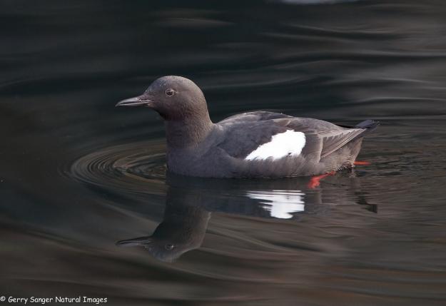 Pigeon_Guillemot02